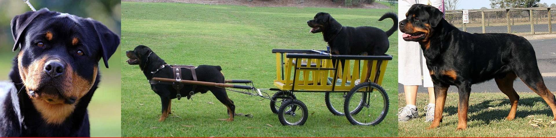 Rottweiler Club of South Australia